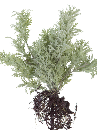 """Picture of 14""""WORMWOOD W/ROOTS"""