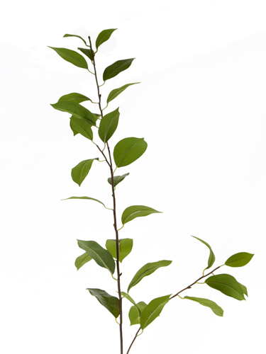 "Picture of 43"" LAUREL LEAVES STEM"