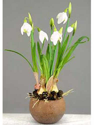 "Picture of 10"" SNOW DROP X 4 ON POT"