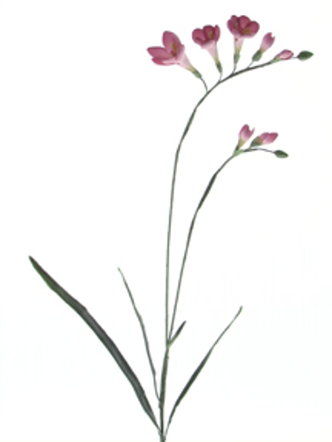 Picture of FREESIA SPRAY