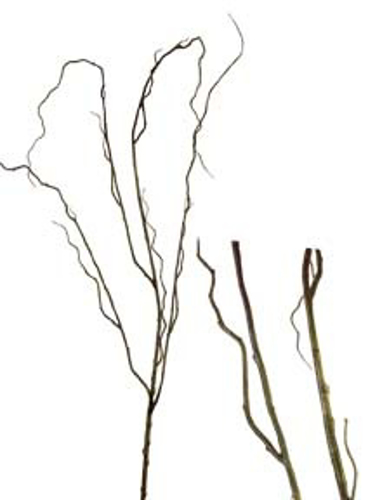 """Picture of 48"""" CURLY WILLOW"""