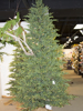 Picture of 10' BLACK SPRUCE TREE