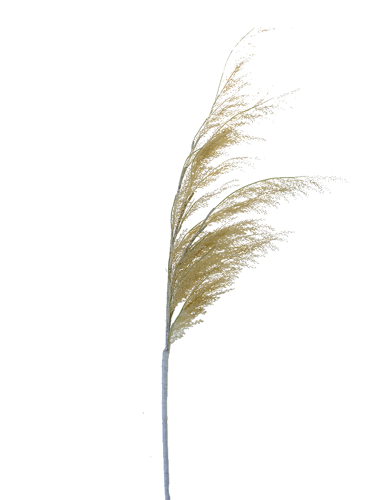 """Picture of 55"""" PAMPAS GRASS SPRAY"""