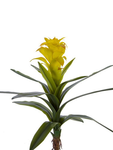 "Picture of 18"" BROMELIAD PLANT"
