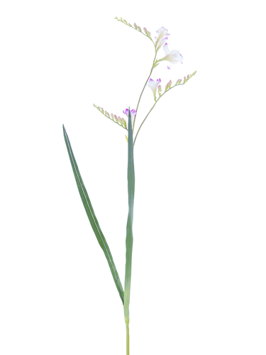 """Picture of 39"""" FREESIA PLANT"""