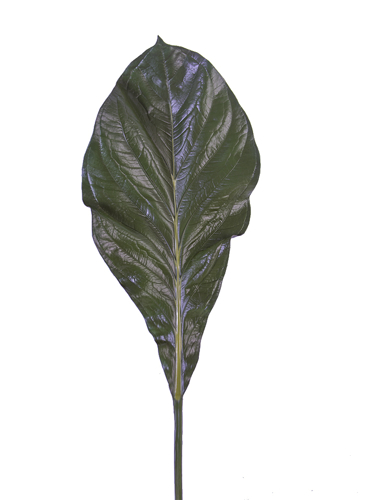 "Picture of 33.5"" CANNA LEAF"