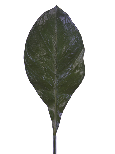 "Picture of 29"" CANNA LEAF"