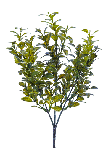 "Picture of 13"" MYRTLE BUSH"