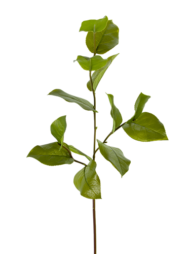 """Picture of 32"""" SALAL LEAF SPRAY S."""