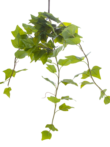 """Picture of 27"""" ENGLISH IVY BUSH"""